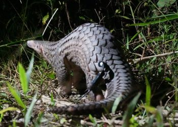A critically endangered Sunda Pangolin in Vietnam.